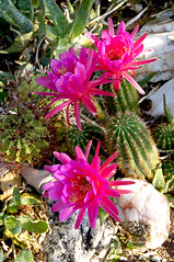 Today's beautiful courtyard blooms at the Gallery in the Sun! (DeGrazia Gallery in the Sun) Tags: flowers arizona cactus sun ted flores art artist gallery desert tucson az adobe blooms degrazia catalinas ettore catci