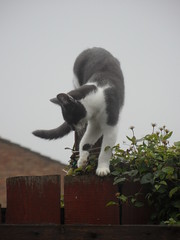 Grey spot (Nekoglyph) Tags: white cute animal cat fence garden grey climb kitty spot step patches
