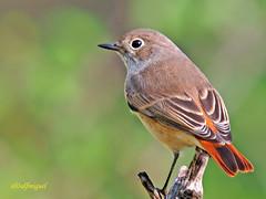 Hembra de Colirrojo creo que real (Phoenicurus phoenicurus) (eb3alfmiguel) Tags: aves colirrojo real insectívoros pájaros