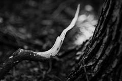 if you prick me... (furrycelt) Tags: blackandwhite tree nature monochrome nc nikon branch natural 85mm northcarolina ground creepy sharp bark twig forestfloor jordanlake 2013 nikon85mmf14 nikon85mmf14afd d7000 lensblr