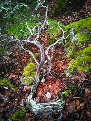 Skeleton (wolfnowl) Tags: leaves moss rocks bc britishcolumbia victoria vancouverisland lichen february 2013 hairymanzanita arctostaphyloscolumbiana mikescellphone samsunggalaxysgti9000