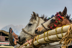 KSMR-3778-20130626x2 copy.jpg (Miki Badt) Tags: horses india animals kashmir ind naturelandscape