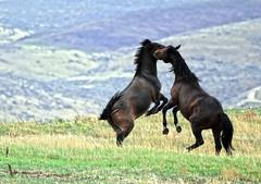 Horse fight (Team Hymas) Tags: horse oregon fight eastern