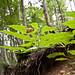 Atropa belladonna MJL709-D012