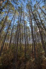 Pines (reclaimednj) Tags: tree pine forest stand nj pinelands pinebarrens bassriverstateforest pitchpine burlingtoncounty 2013 canon6d pinelandsflora rokinon14mm