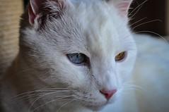 Felix the Cat (Tschichi) Tags: cat felix katzen tierwelt