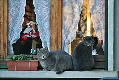 Two brothers (Simply Viola ( Busy +off-on )) Tags: cats animals chats gatos felini felines 猫 katzen gatti animali kates кошки gattiallafinestra impressedbeauty macskák القطط catsonthewindow mygearandme mygearandmepremium mygearandmebronze mygearandmesilver mygearandmegold mygearandmeplatinum mygearandmediamond