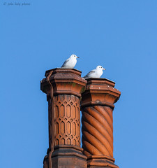 gulls on chimney's (Tales From The Riverbank) Tags: uk chimney bird wildlife gulls essex johndaly