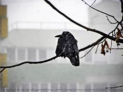 Blizzard (cod_gabriel) Tags: winter snow dof bokeh snowstorm depthoffield romania twig snowing crow blizzard twigs bucharest bucuresti bukarest roumanie shallowdepthoffield shallowdof boekarest bucarest shallowfocus românia bucureşti ninsoare iarnă ninge viscol bucareste zgribulit cioară păsărică înfoiat cioarăînfoiată cioarăzgribulită rămurică