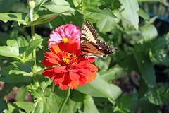 butterfly7 (amandabyrdseye) Tags: plants plant nature butterfly garden farm grow growing zinnia swallowtailbutterfly 2011 igrow naturemagic igrowgardens