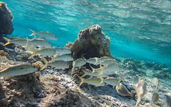 Egypten 2014 - Snorkling 746 (Zarako) Tags: fish coral underwater redsea dive egypt snorkeling snorkling reef egypten marsaalam vision:outdoor=095 vision:sky=0644 vision:clouds=0686