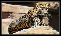 leopard (GT Photo) Tags: espaa cat spain rocks leopard malaga bigcats fuengirola mlaga pantherapardus 2013 bioparc nikond300 felidaefamily june2013