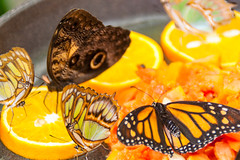 Lunch Time (k009034) Tags: life park travel orange nature beautiful fruit canon butterfly insect lunch photography eos 350d wings spain time bowl eat busy slice rebelxt antenna benalmadena beautifulearth