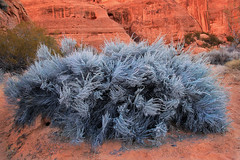 Big Sage (arbyreed) Tags: blue red bush sandstone desert redsand brush sage redrock snowcanyon washingtoncountyutah arbyreed