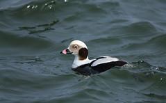 Long-tailed duck [drake]