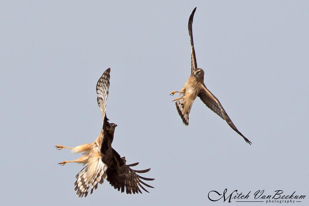 Fighting Northern Harriers