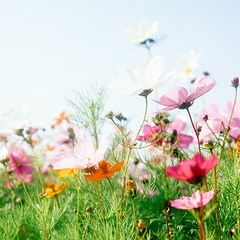 波斯菊 (richardhwc) Tags: guangzhou china flower 120 6x6 film rolleiflex mediumformat kodak cosmos 35e planar carlzeiss portra160 75mmf35 rolleinar2 coatingdegraded