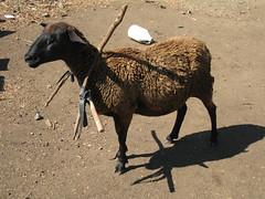 IMG_1500 (Tehhen) Tags: animals dominicanrepublic repblicadominicana clavellina dajabn