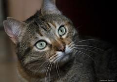 Dulce Dunia (leporcia) Tags: barcelona cats animals cat feline gatos gato felino animales katze refugio shelter gatto katzen animalplanet gatito dunia