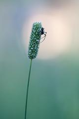 Araneae sp.-1-2.jpg (YannXJR) Tags: macro insect juillet insectes araignée araneae arachnide 2013 proxiphotographie mazaugues