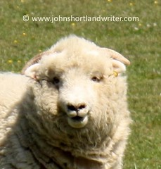 exmoor horn ewe (john shortland) Tags: nationalpark sheep farming horn breed rare brendon exmoor ewe rbst