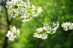 Meelespea ... (anuwintschalek) Tags: white salzburg garden austria spring april weiss garten frhling aed kevad kirschblten cherryflowers valge d7k kirsiied nikond7000 18140vr