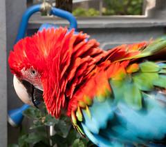 scarlet macaw (n.a.) Tags: china garden hongkong asia parrot macaw birdgarden yuenpostreet yuenpostreetbirdgarden