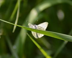 Green-Veined White Butterfly (Pieris napi) (marmendy mill) Tags: macro closeup butterfly bug insect photo nikon butterflies lepidoptera mariposa essex greenleaf greenveinedwhite rochford magnoliapark pieridae pierisnapi