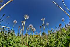 Fisheye at Monks Mound (Mike Matney Photography) Tags: flowers sky nature illinois midwest may worldheritagesite fisheye 325 dandelions 2014 cahokiamounds eosm rokinon cahokiamoundsstatepark