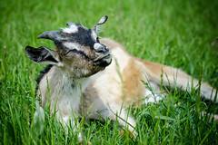 Moments of Pleasure (andrew_kalashnikov) Tags: nature grass moments shepherd goat pleasure