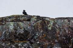 Raven on the rock with snow-1042 (Mathieu Dumond) Tags: snow bird colors rock spring may arctic snowfall raven lichens nunavut kugluktuk