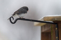Male dark-eyed junco perched on a plant hanger on a deck (Scott Alan McClurg) Tags: life winter wild snow cold bird nature animal yard back backyard wildlife junco seed neighborhood deck eat perch suburbs snowing feed railing smallbirds songbird darkeyedjunco naturephotography perching darkeyed