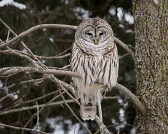 Barred Owl-7313 (RG Rutkay) Tags: winter bird nature animal barredowl hallsroad lyndeshoresconservationarea
