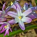 Lucile's Glory-of-the-Snow (Chionodoxa siehei 'Pink Giant')