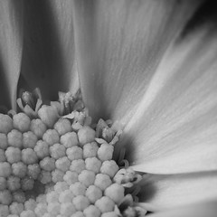 Black & White Cineraria (Ben Wightman) Tags: flower macro petals cineraria bwflowers macromondays