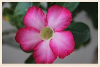 Obesum flower in Thailand