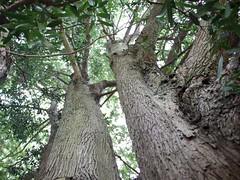 Plum Pine (Podocarpus elatus) (Poytr) Tags: bark chatswood podocarpus lindfield lanecovenationalpark podocarpaceae podocarpuselatus chatswoodwest arfp brownpine plumpine nswrfp qrfp