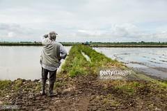 risaia (quintaainveruno) Tags: acqua colori risaia orizzontale figuraintera unapersona caucasico ambientazioneesterna adultoinetàmatura