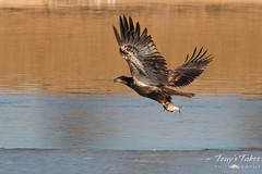 Juvenile Bald Eagle snags a fish