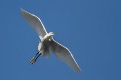 Time for take off (Darran Jones) Tags: nature wildlife egret worldofbirds bif birdinflight littleegret flyingbird egretinflight canon400mmf56 hatchpond canon7d