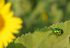 GLITTER OF NATURAL DYES (GOPAN G. NAIR [ GOPS Photography ]) Tags: bug photography g shining jewel nair gops gopan chrysocoris