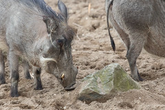 Common warthog 2016-04-14-0016 (BZD1) Tags: animal animals mammal burgerszoo warthog zwijn wrattenzwijn varkens chordata artiodactyla phacochoerus suidae phacochoerusafricanus commonwarthog knobbelzwijn