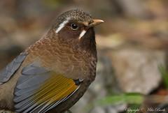 White-Whiskered Laughingthrush (Garrulax morrisonianus) (Bird Guide UAE - 1M+ Views thanks !) Tags: birds taiwan hepingdistrict garrulaxmorrisonianus taichungcity