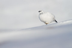 Ptarmigan (Lagopus muta) (James Shooter) Tags: winter mountain snow march scotland nationalpark native snowy grouse camouflage ptarmigan cairngorms upland cairngormsnationalpark mountainous lagopusmuta