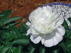 ~ Pure White Peony ... (~ Cindy~) Tags: white flower home floral wow petals bed soft softness peony delicate johnnys 2016 explored