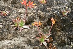 (joedecruyenaere) Tags: santamonicamountains crassulaceae losangelescounty dudleya dudleyacymosasspmarcescens