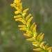Yellow Colic Root