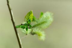 fresh start (kipuna) Tags: green suomi finland leaf spring bud jyvskyl lehti kevt haukanniemi vihre