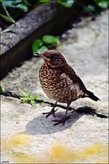 Baby Blackbird (franciska_bosnjak) Tags: bird nature nikon blackbird d3100