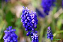 Muscari armeniacum - (  ) (hmeyvalian) Tags: canon eos montral ii 7d di tamron vc markii jardinbotanique grapehyacinth montrealbotanicalgarden bluepearl f3563 qubeccanada pzd muscaridarmnie 16300mm jacintegrappe